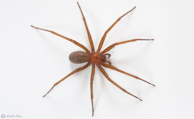 ¿Como reconocer una araña de rincón?